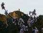 Amandier en fleur devant la tour de Tr�moine