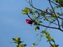 Premi�re rose sur fond de ciel enfin printanier.