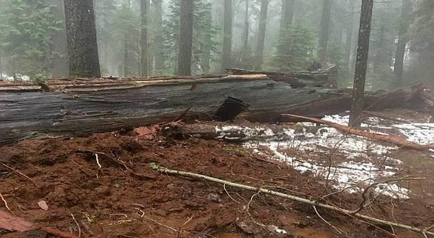 La tempête fatale au séquoia-