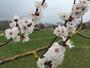 Abricotier en fleur