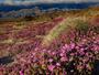 Super floraison du désert américain actuellement